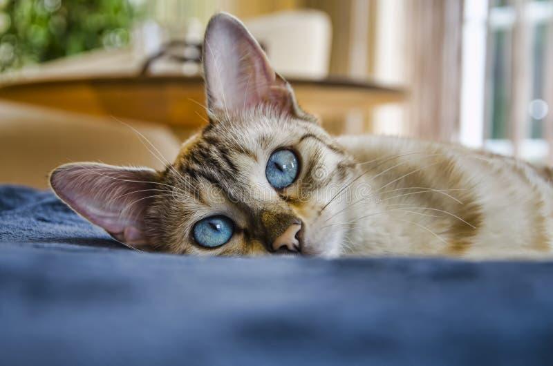 Haus des blauen Auges der Bengal-Schönheitskatze stockbild