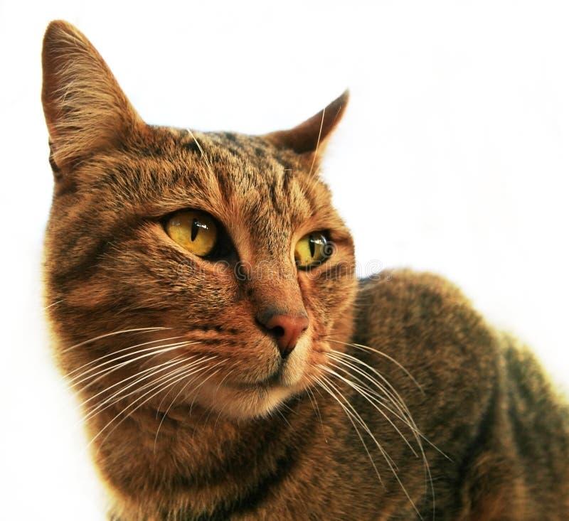 Haus-Katze Stockfotografie