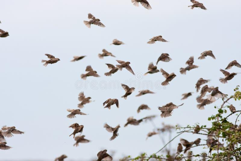 Haus-Spatzen-Menge-Landung in der Hecke lizenzfreie stockfotos