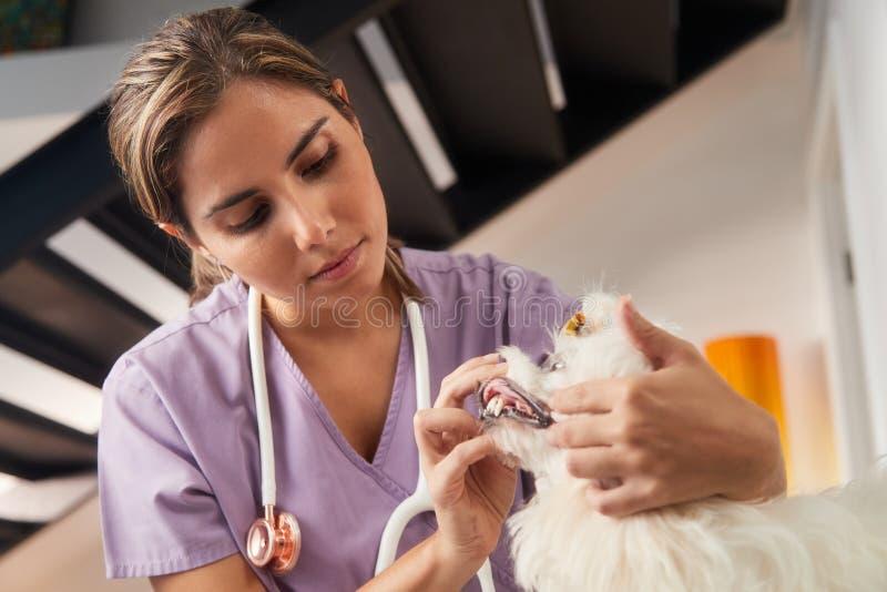 Hausbesuch mit junger Tierarzt-Besuchshund zu Hause stockfoto