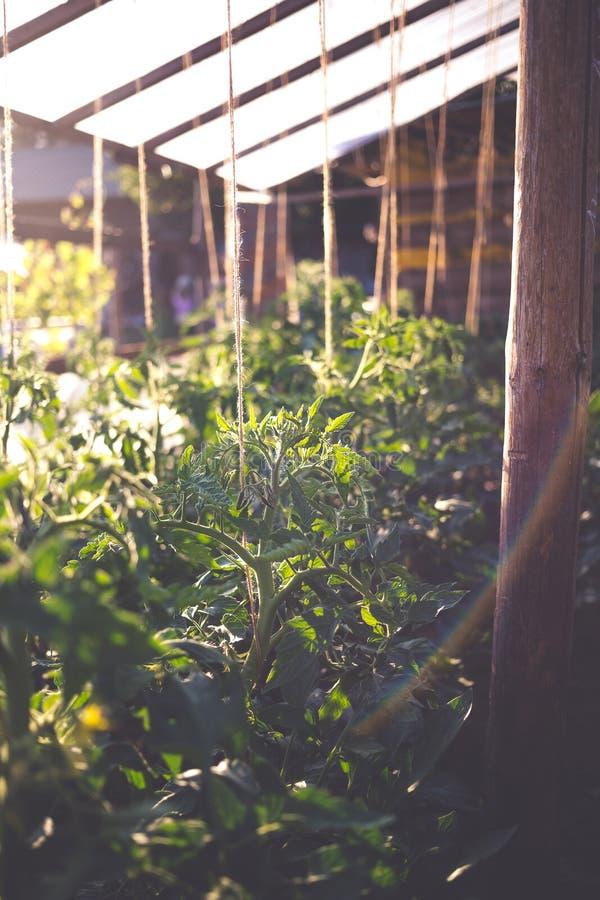 Hausgemachtes Gewächshaus mit grünen, unreifen Tomaten Konzept der privaten Gartenarbeit lizenzfreies stockbild