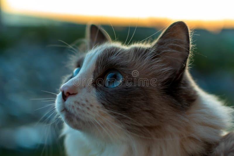 Hauskatze mit einem schönen Blick mit den blauen Augen, die auf dem Balkon den Vogel aufpassend sitzen lizenzfreie stockbilder