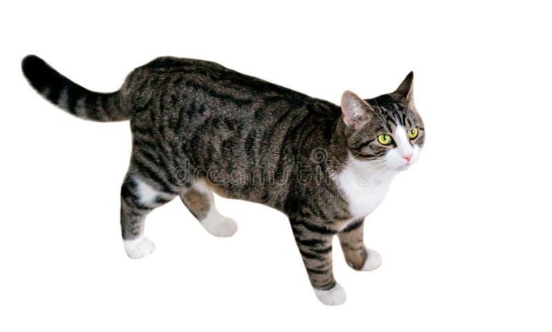 Hauskatze mit grünen Augen geht vorsichtig aufpassend und inten lizenzfreie stockfotografie