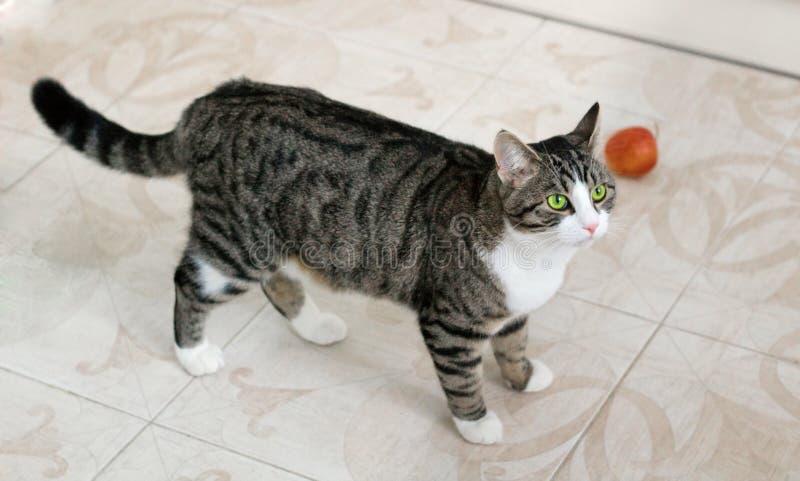 Hauskatze mit grünen Augen geht vorsichtig aufpassend und inten stockbilder
