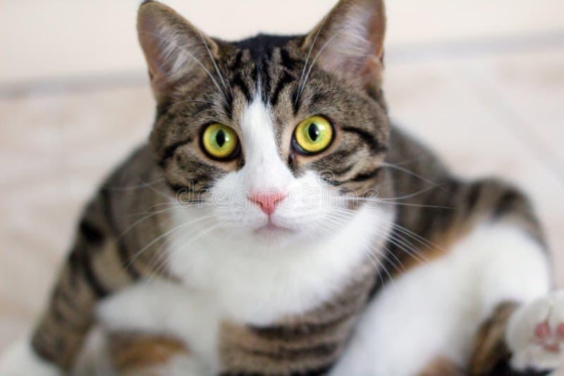 Hauskatze mit hellgrünen Augenuhren vorsichtig und inten stockfotografie