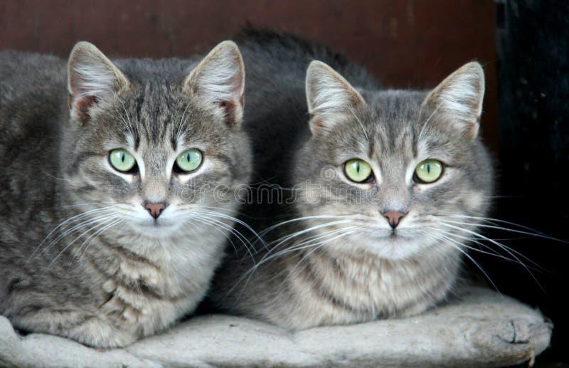 Hauskatzen lizenzfreie stockbilder