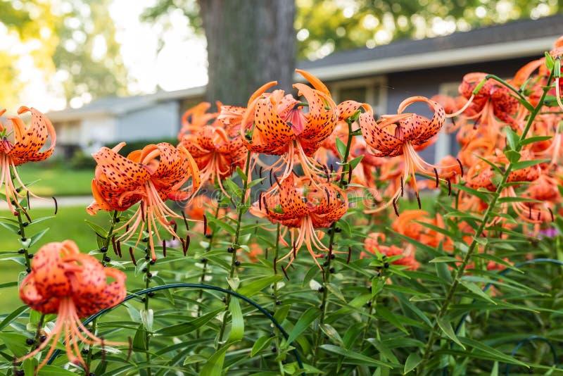 Hausse de Sun au-dessus du jardin de Tiger Lily mon heure du favorit e image stock
