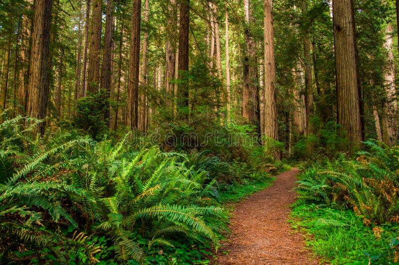 Hausse du chemin dans la forêt de séquoia photos stock