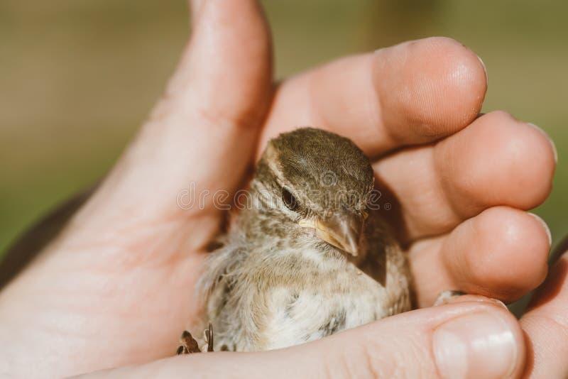 Nettes Vogelbaby Des Haussperlings Stockbild - Bild von ...