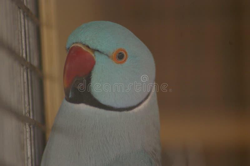 Haustier blauer Ringneck-Sittich in it' s-Käfig lizenzfreies stockbild