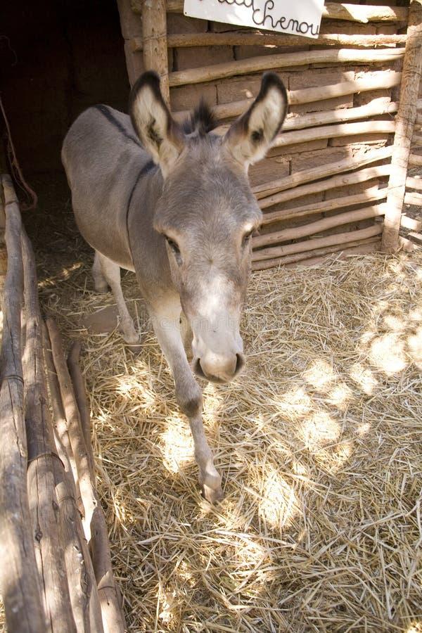 Haustier-Esel lizenzfreie stockfotos