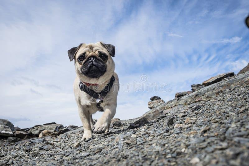 Haustier Pug, der auf einen Berg geht stockfotografie