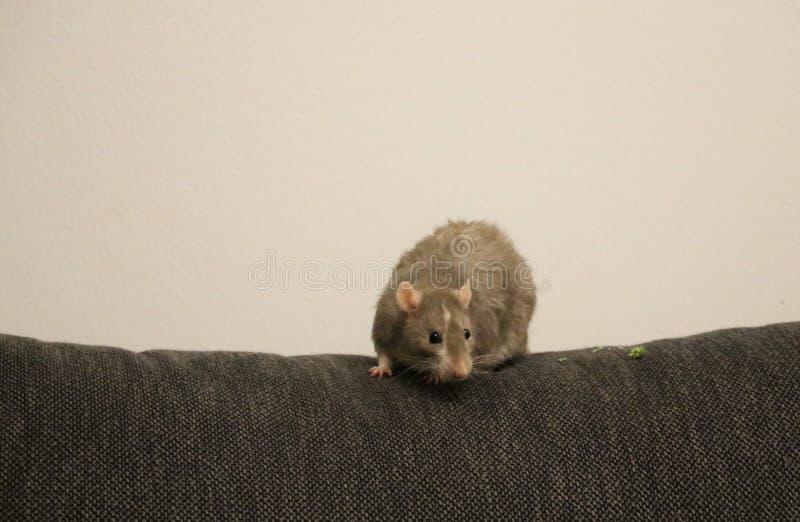 Haustier-Ratte, die heraus hängt stockbilder