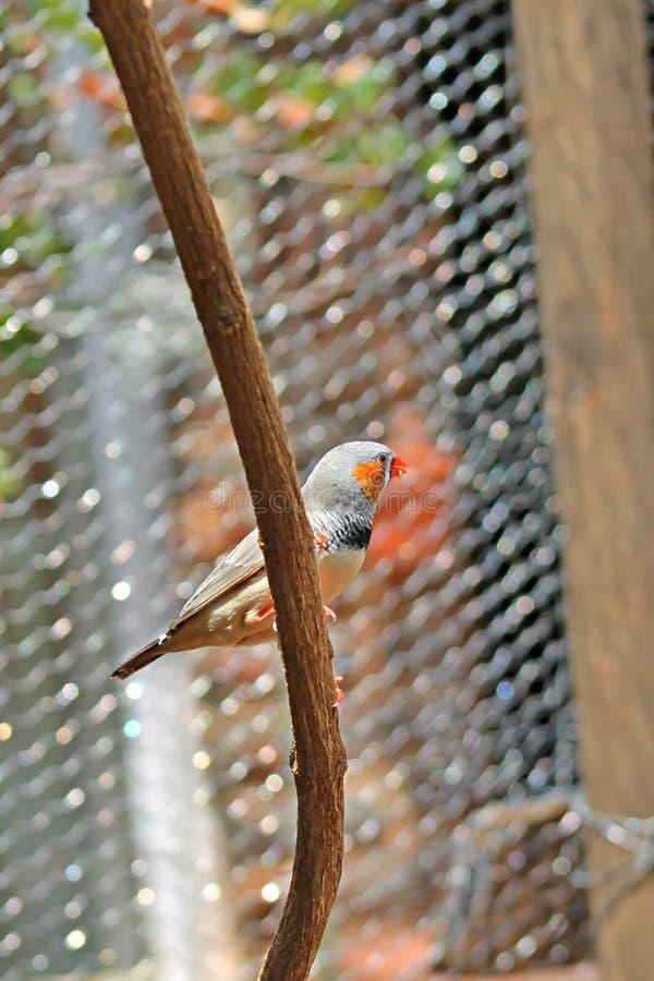Haustier-Vögel der Zebrafink lizenzfreies stockbild