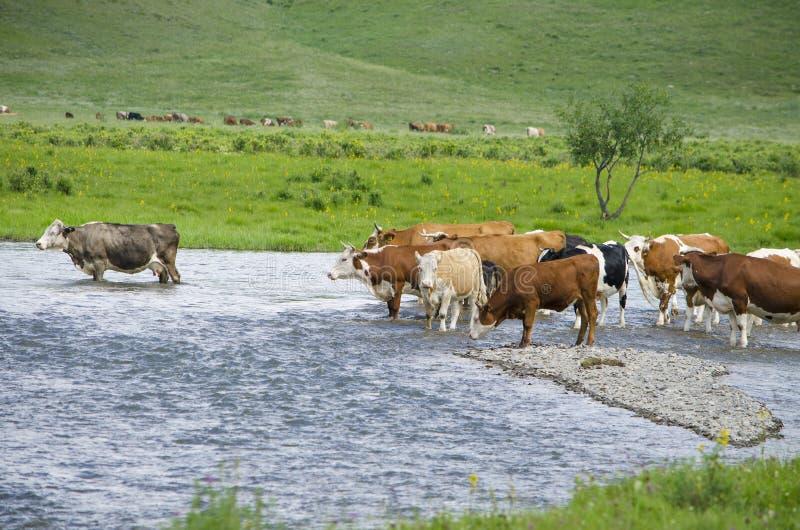 Haustiere der Kuh auf einer Wasserentnahmestelle in dem Fluss stockbilder