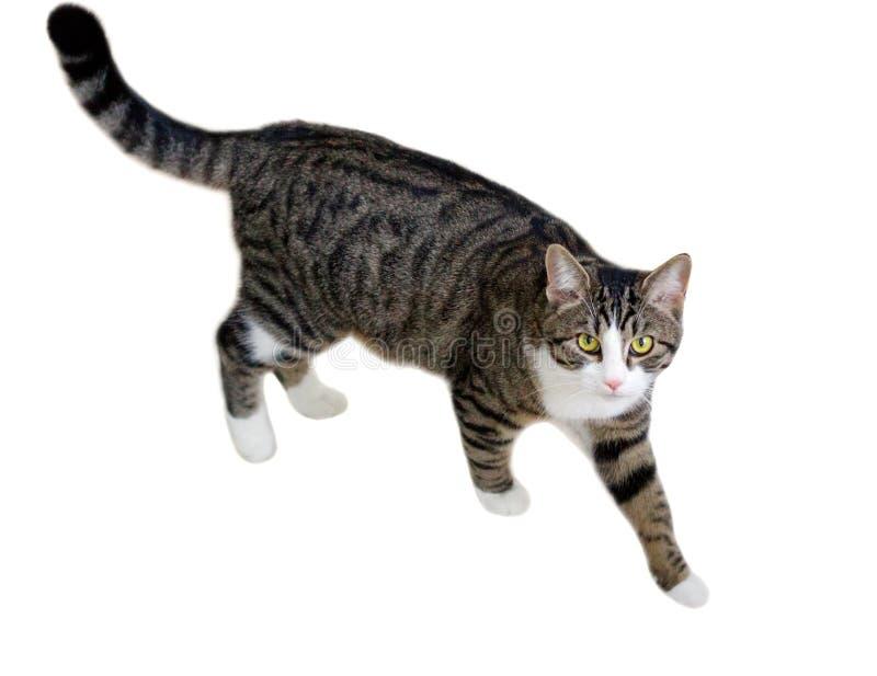Haustierkatze mit grünen Augen geht vorsichtig und bedacht aufpassend lizenzfreie stockfotografie