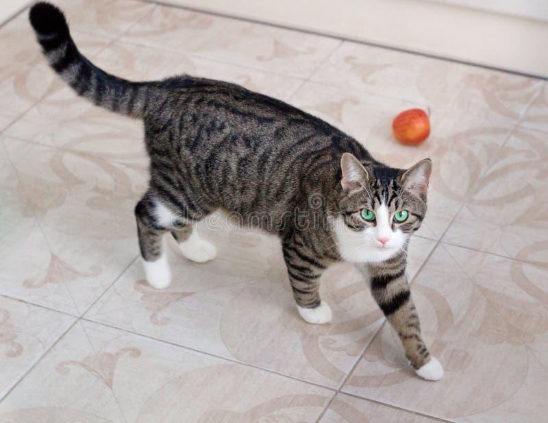 Haustierkatze mit grünen Augen geht vorsichtig und bedacht aufpassend stockbild