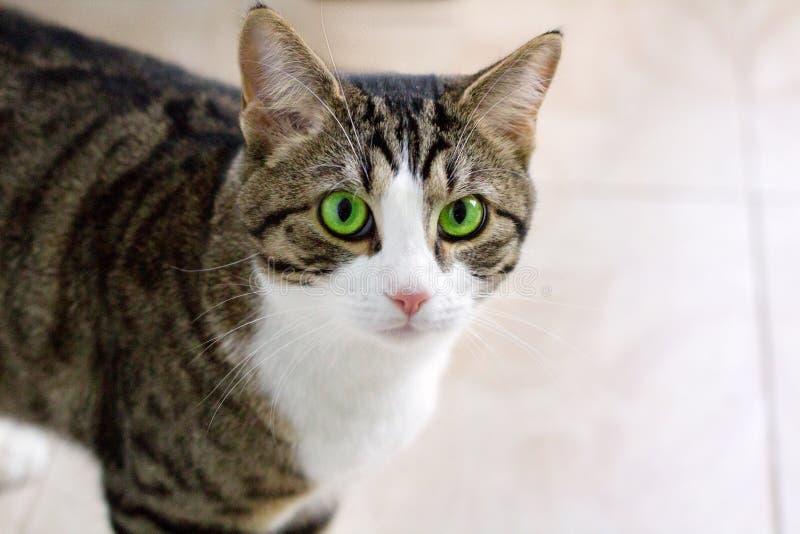 Haustierkatze mit Uhren der grünen Augen vorsichtig und bedacht lizenzfreie stockfotos