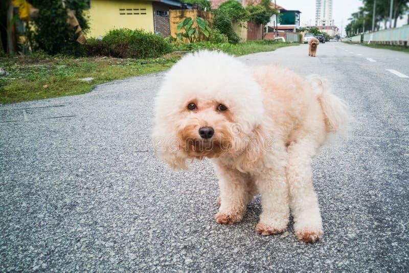 Haustierpudelhund, der auf Straße pooping ist stockbild
