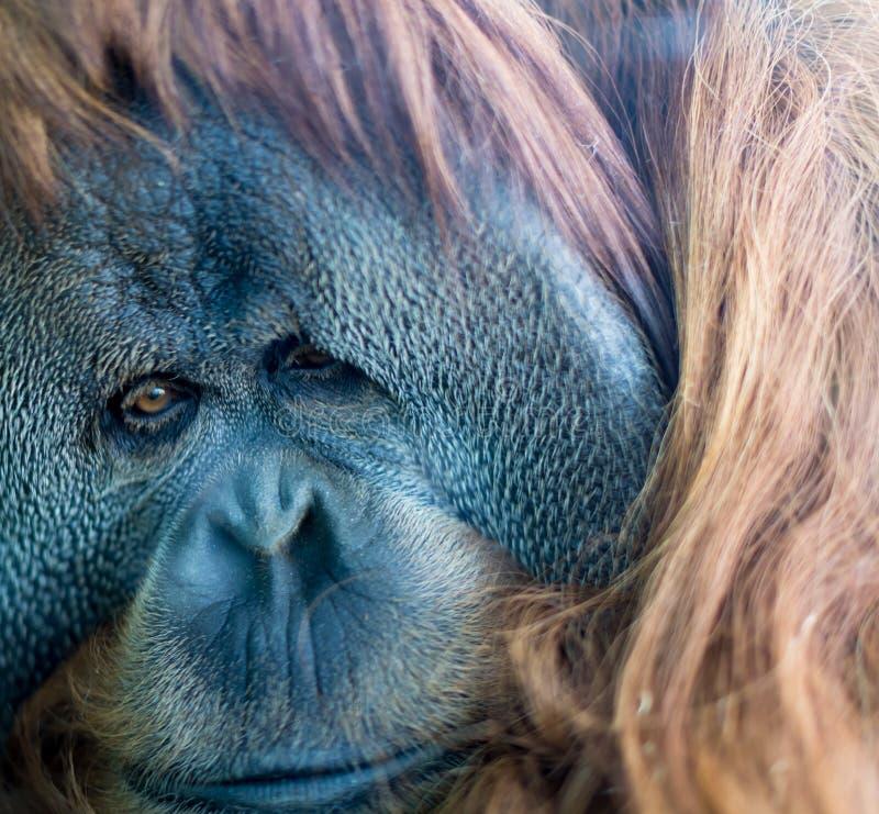 Haut étroit d'orang-outan photo stock