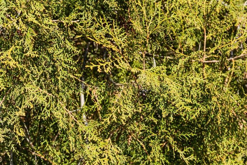 Haut étroit de branches d'arbre de Thuja photos stock