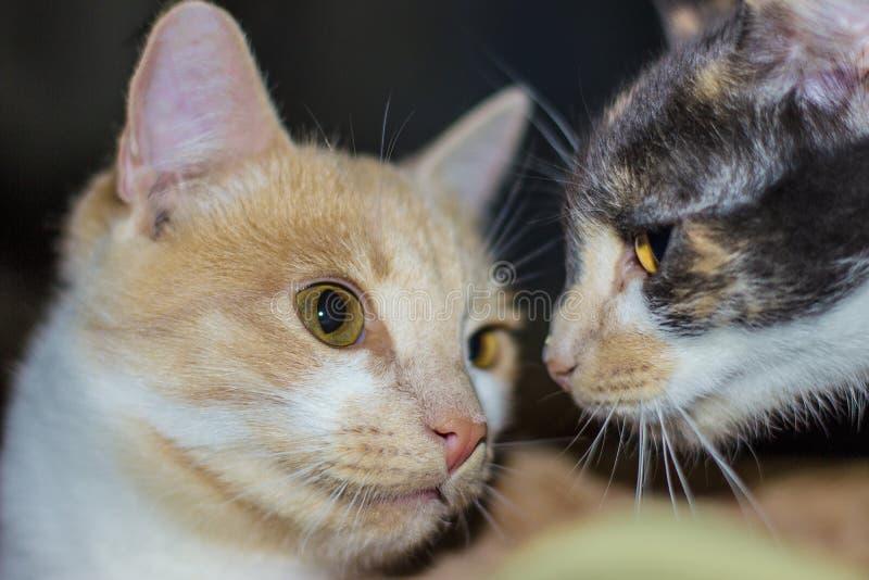 Haut étroit de chats rouges et noirs photos stock