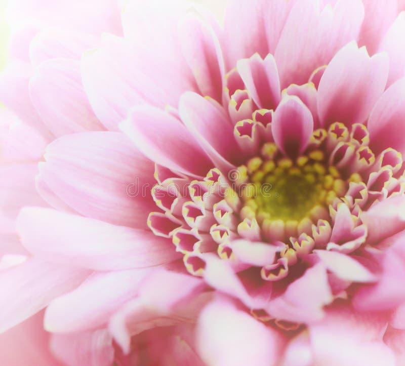Haut étroit de chrysanthème Macro rose d'or-marguerite image stock