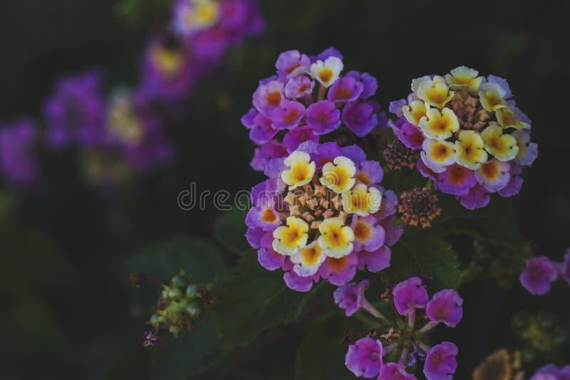 Haut étroit de fleurs de camara de Lantana images libres de droits
