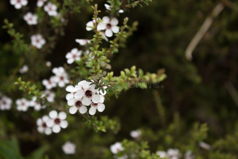 Haut étroit de fleurs de Manuka photos stock