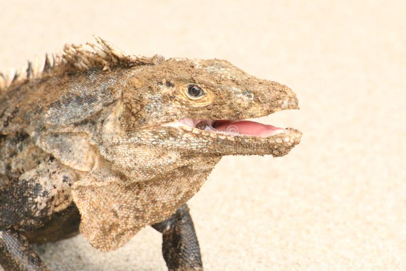 Haut étroit de sourire de portrait d'iguane photo libre de droits