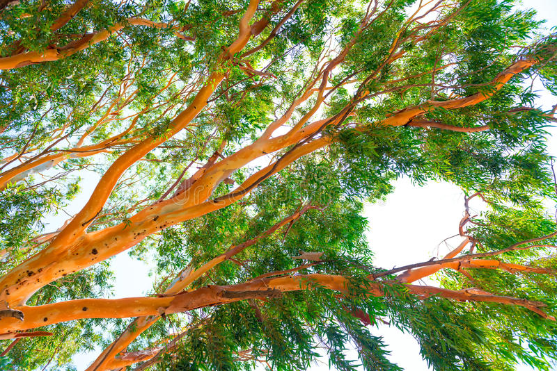 Haut arbre d'eucalyptus image stock
