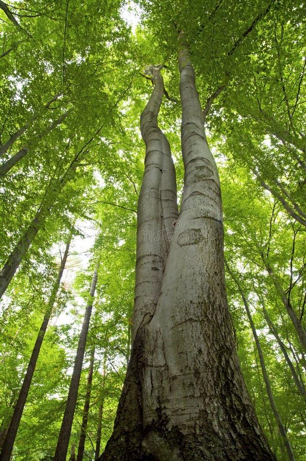 Haut arbre de hêtre photos stock