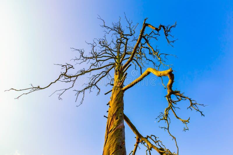Haut arbre mort sous le ciel bleu image stock