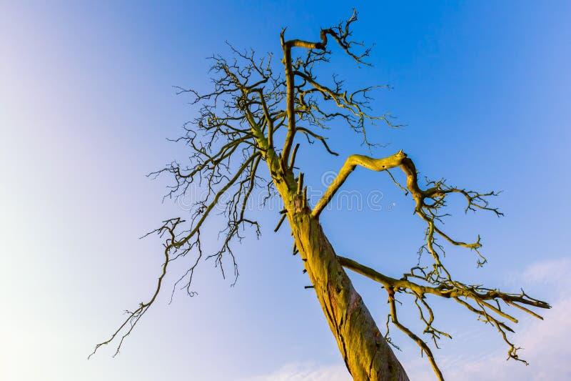 Haut arbre mort sous le ciel bleu photographie stock libre de droits