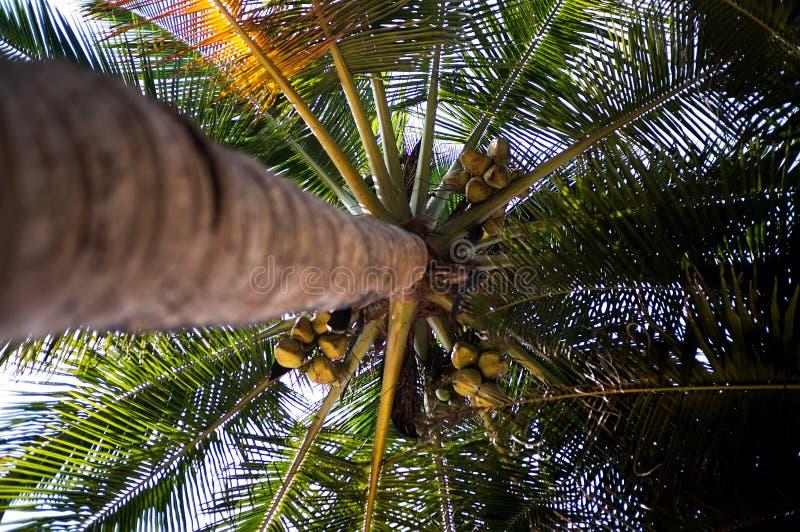 Haut palmier avec les noix de coco mûres, vue de dessous image stock