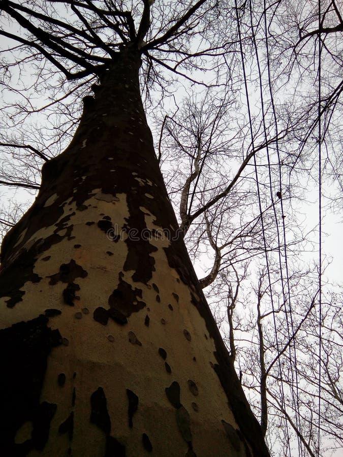 Haut Platan se repose sur des branches dans le ciel photos stock