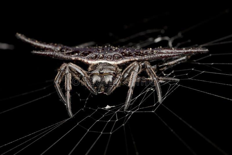 Haut proche d'extrémité toute l'araignée épineuse noire de tisserand de globe photos stock