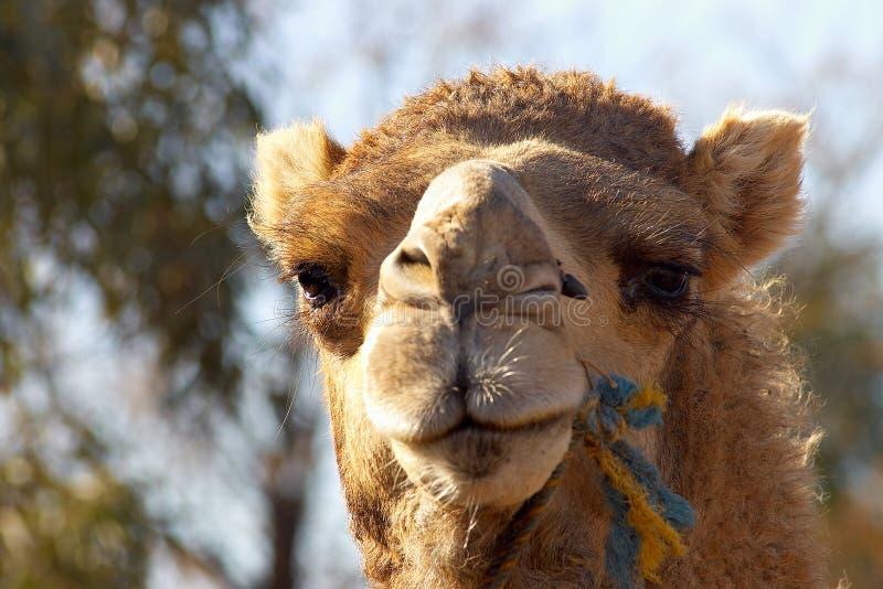 Haut proche de chameau image stock