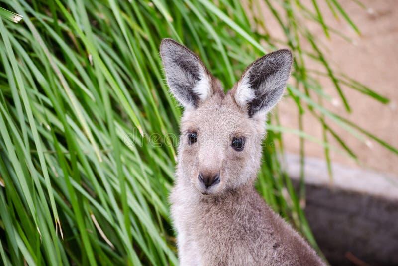 Haut proche de kangourou photographie stock libre de droits