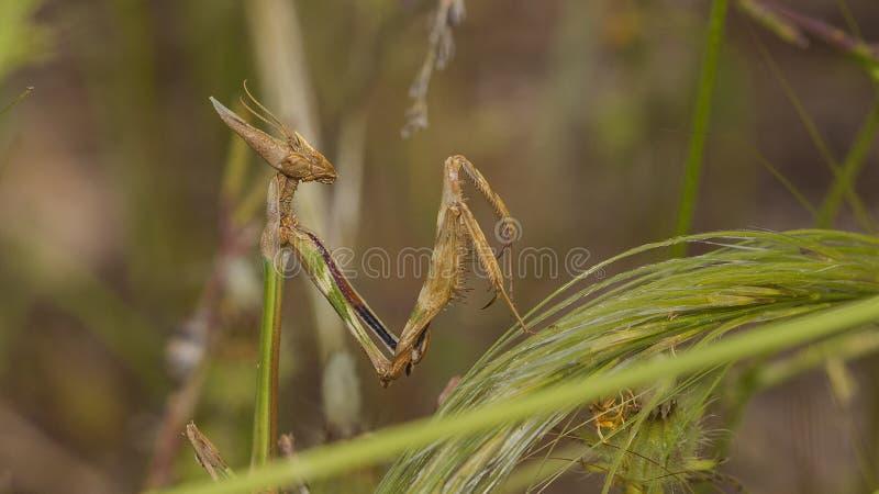 Haut proche de Mantis de prière images stock