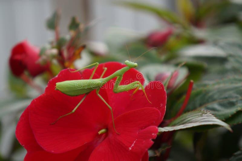 Haut proche de Mantis de prière Mantodea photographie stock