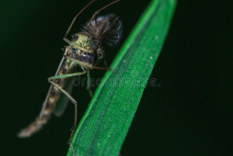 Haut proche de moustique photographie stock libre de droits