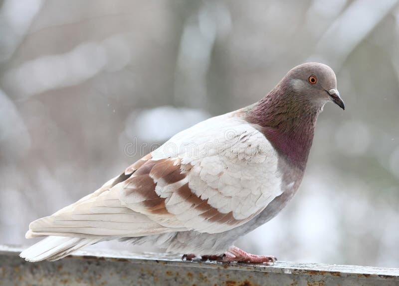 Haut proche de pigeon photo libre de droits