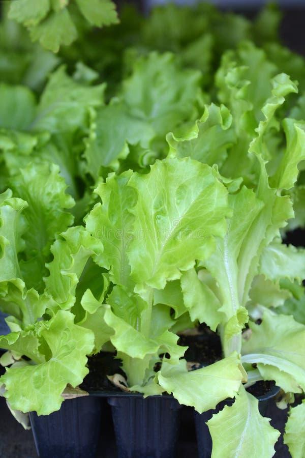 Haut proche de salade images stock