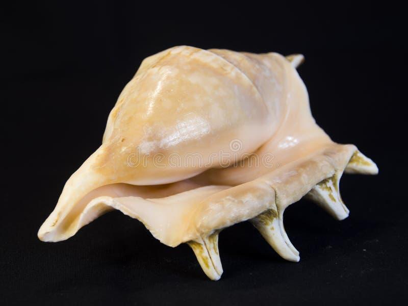 Haut proche de Seashell photo libre de droits