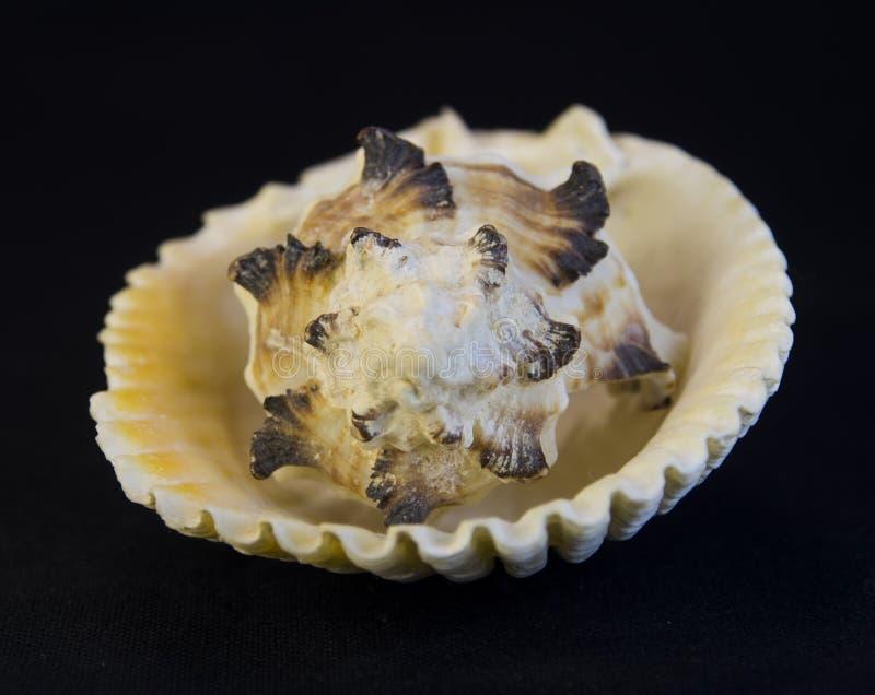 Haut proche de Seashell photos libres de droits
