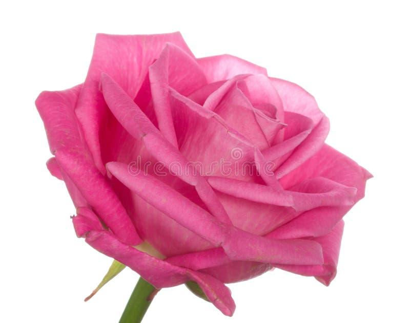 haut simple de rose principale proche de rose photo libre de droits