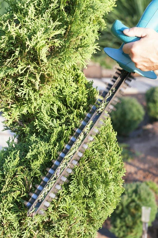 Haut ?troit d'usines d'?lagage Conifères professionnels de Pruning de jardinier, mode de vie image stock