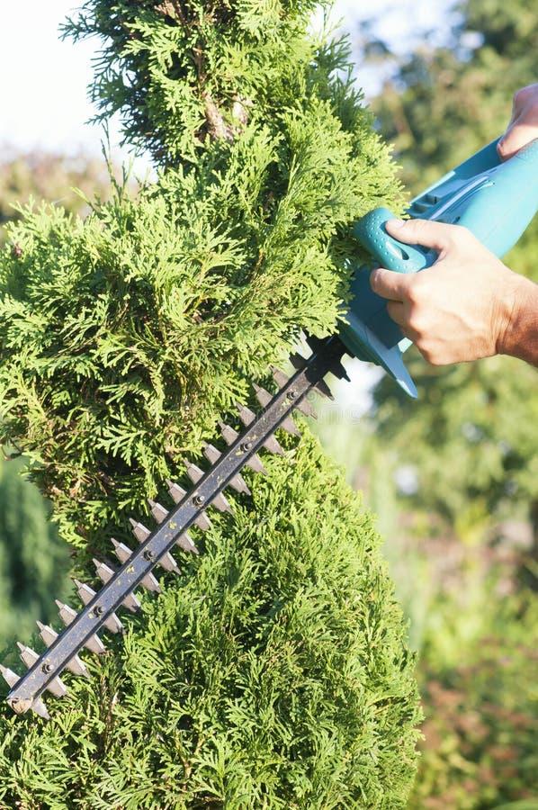 Haut ?troit d'usines d'?lagage Conif?res professionnels de Pruning de jardinier, mode de vie photos stock