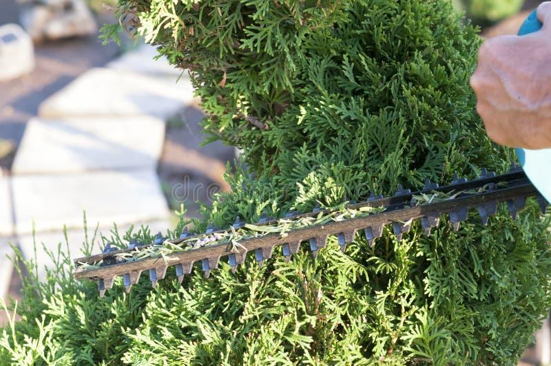 Haut ?troit d'usines d'?lagage Conif?res professionnels de Pruning de jardinier, mode de vie photo libre de droits